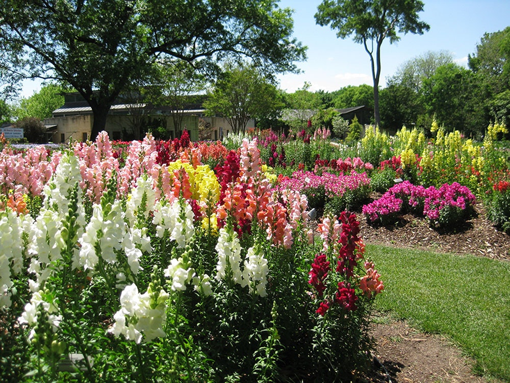 ... Snapdragons In The All American Selections Trial Garden ...